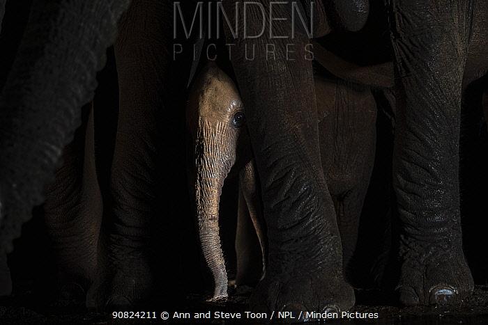African elephant (Loxodonta africana) calf between adult's legs by waterhole at night, Zimanga game reserve, KwaZulu-Natal, South Africa.