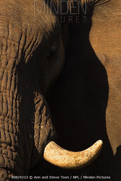 African elephant (Loxodonta africana) tusk and skin detail, Zimanga game reserve, South Africa.