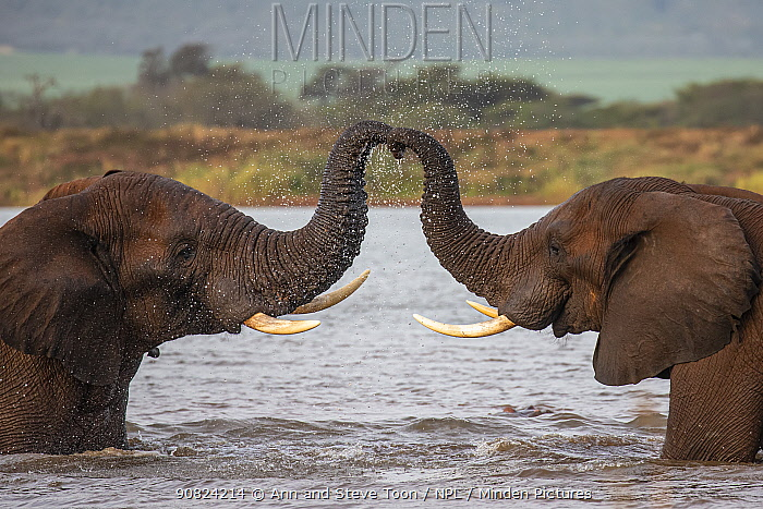 African elephants (Loxodonta africana) in water, trunks touching, Zimanga game reserve, South Africa.