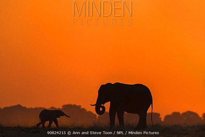 African elephants (Loxodonta africana) mother and baby at sunset, Chobe National Park, Botswana.