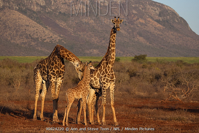Giraffes (Giraffa camelopardalis), male with female and baby, Zimanga game reserve, KwaZulu-Natal, South Africa.