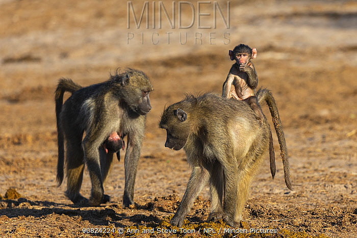 Chacma baboons (Papio ursinus) picking through elephant dung, with baby on back, Chobe National Park, Botswana, May