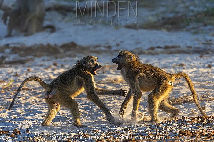 Chacma baboons (Papio ursinus) squabbling, Chobe National Park, Botswana, May