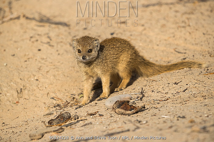 Yellow mongoose (Cynictis penicillata) pup, Kgalagadi Transfrontier National Park, Northern Cape, South Africa, February