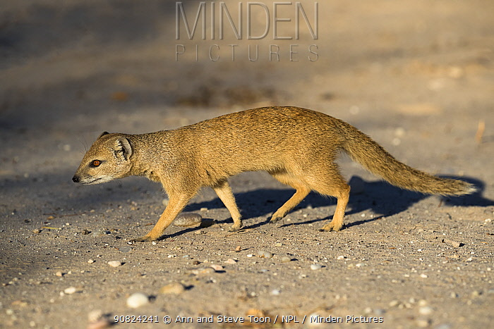 Yellow mongoose (Cynictis penicillata), Kgalagadi Transfrontier National Park, Northern Cape, South Africa, February