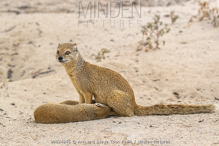 Yellow mongoose (Cynictis penicillata) suckling young, Kgalagadi Transfrontier National Park, Northern Cape, South Africa, February