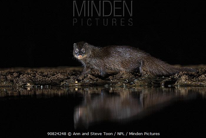 Water mongoose (Attlax paludinosus) at night by waterhole, Zimanga private game reserve, KwaZulu-Natal, South Africa.