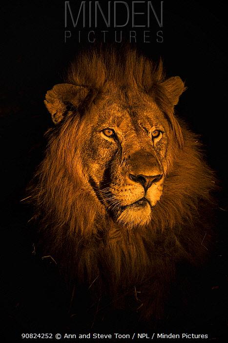 RF - Lion (Panthera leo) head portrait at night, Zimanga private game reserve, KwaZulu-Natal, South Africa.