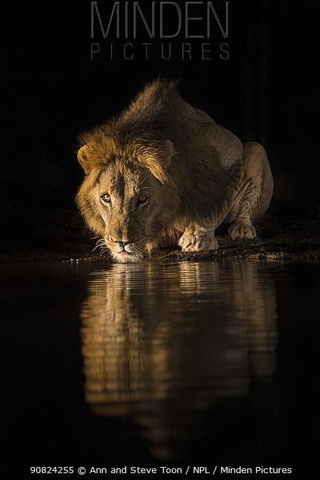 Lion (Panthera leo) drinking at night, Zimanga private game reserve, KwaZulu-Natal, South Africa.
