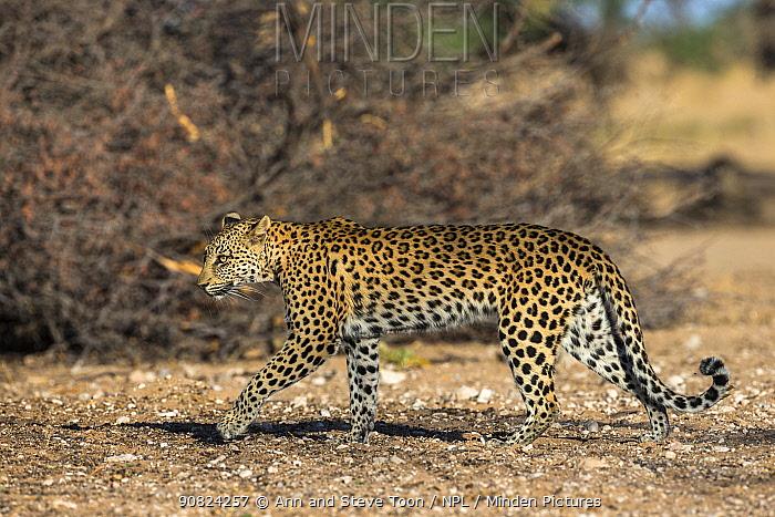 Leopard (Panthera pardus) female, Kgalagadi transfrontier park, South Africa.