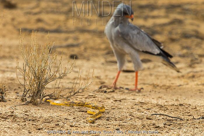 Cape cobra (Naja nivea) followed by pale chanting goshawk (Melierax canorus), Kgalagadi transfrontier park, South Africa.