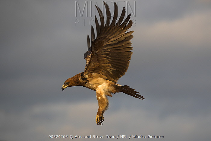Tawny eagle (Aquila rapax) in flight, Zimanga private game reserve, KwaZulu-Natal, South Africa.