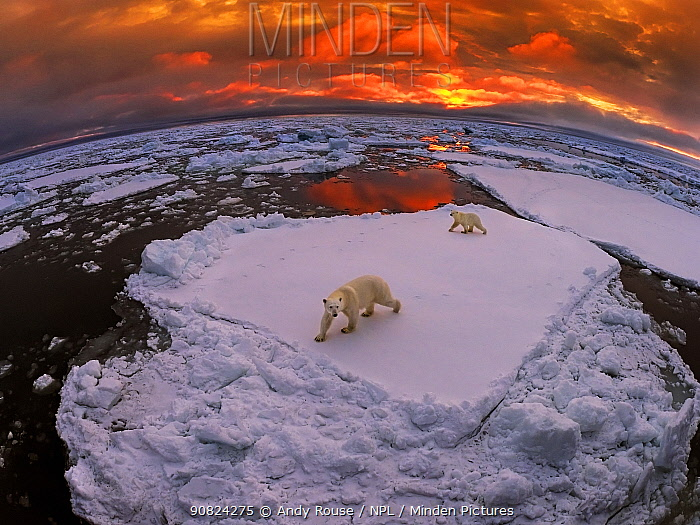 Polar bear (Ursus maritimus) mother and yearling cub on pack ice at sunset, Svalbard, Norway. October