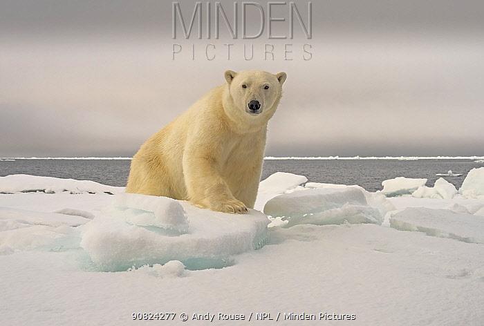 Polar Bear (Ursus maritimus) on pack ice Svalbard, Norway. October