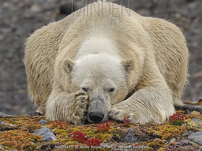 Polar Bear (Ursus maritimus) resting on land, Svalbard, Norway. October