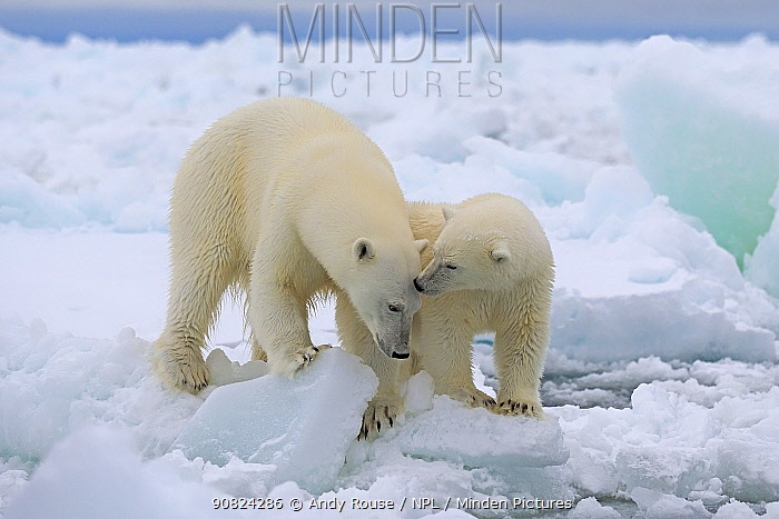 Polar Bear (Ursus maritimus) mother and yearling cub, Svalbard, Norway. October