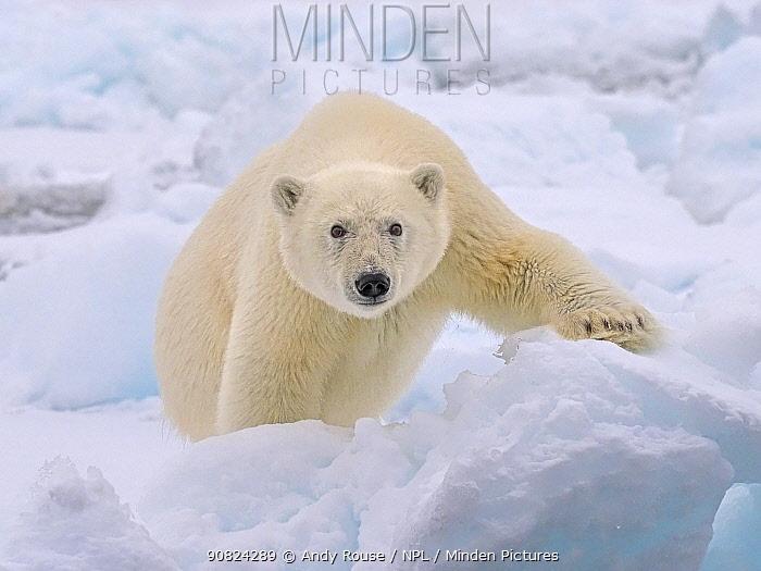 Polar Bear (Ursus maritimus) yearling cub, Svalbard, Norway. October