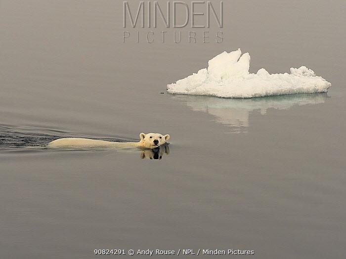 Polar Bear (Ursus maritimus) swimming, Svalbard, Norway. October