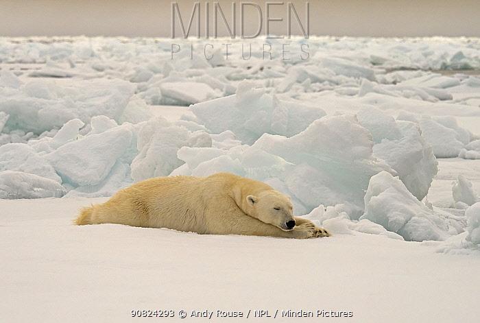 Polar Bear (Ursus maritimus) on pack ice, Svalbard, Norway. October