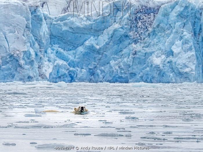 Polar Bear (Ursus maritimus) swimming near glacier, Svalbard, Norway. October