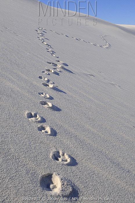 Kit fox (Vulpes macrotis) foot prints on gyspsum sand dunes, White Sands National Park, Chihuahuan Desert, New Mexico, USA, December 2012.