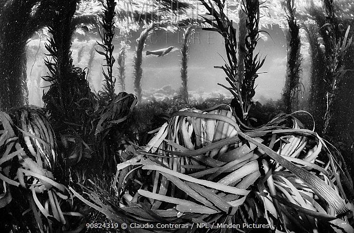Californian sea lion (Zalophus californianus) swimming in Southern sea palm (Eisenia arborea) and Giant Kelp (Macrocystis pyrifera) forest, San Benitos Islands, Baja California Pacific Islands Biosphere Reserve, Baja California, Mexico, May. Absolute Winner in the II International Nature Photography Contest organized by Cadiz Photo Nature 2019