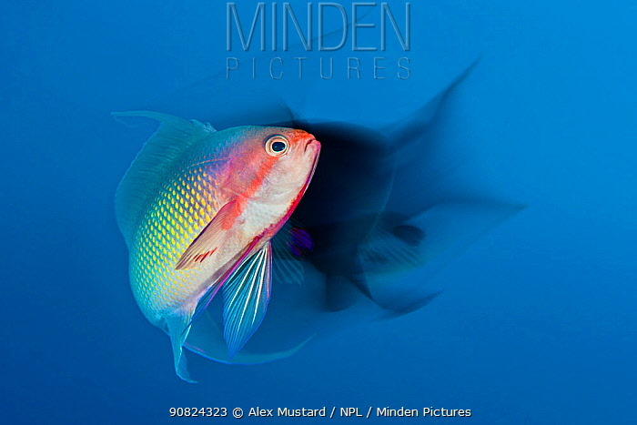 Scalefin anthias (Pseudanthias squamipinnis) male with a long exposure. Ras Katy, Sharm El Shiekh, Sinai, Egypt. Red Sea. Commended in the GDT Photography competition 2019.