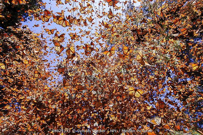Monarch butterfly (Danaus plexippus) wintering in Oyamel pine forests (Abies religiosa) Monarch Butterfly Biosphere Reserve / Reserva de Biosfera de la Mariposa Monarca UNESCO World Heritage Site, Angangueo, Mexico.