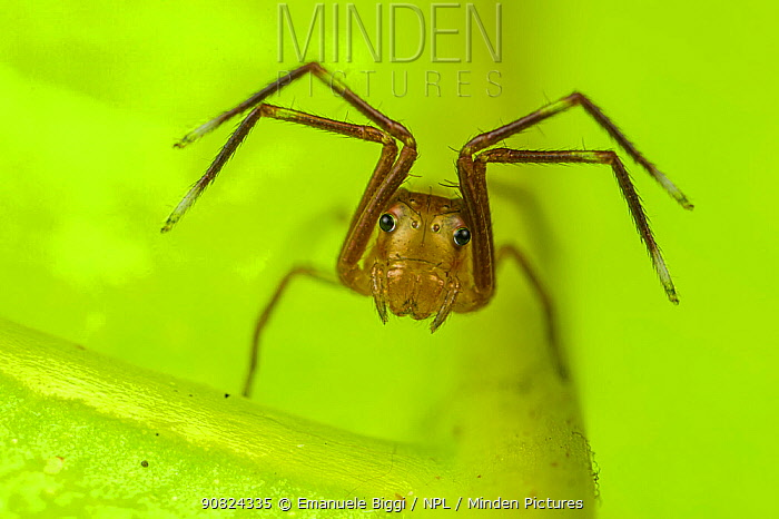 Spider (Amyciaea) resting. Lambir Hills National Park, Sarawak, Malaysian Borneo. Highly commended in the Macro Category of the MontPhoto Competition 2019.