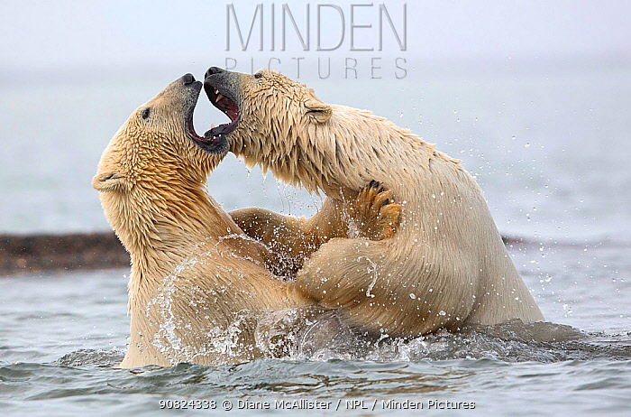 Polar bears (Ursus maritimus) fighting in water. Highly commended in the Polar Passion category of the Nature's Best Photography Competition 2019.