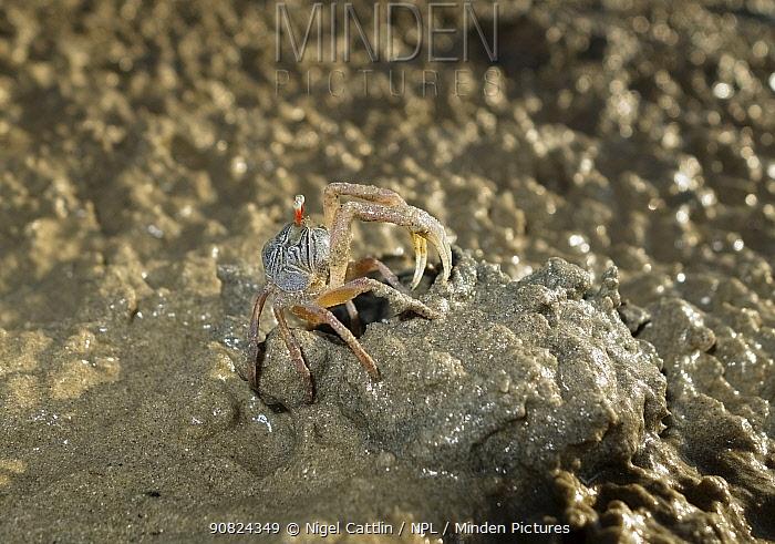 Sand bubbler crab (Scopimera sp) on sand at low tide, Andaman Sea. Near Krabi, Krabi Province, Thailand.