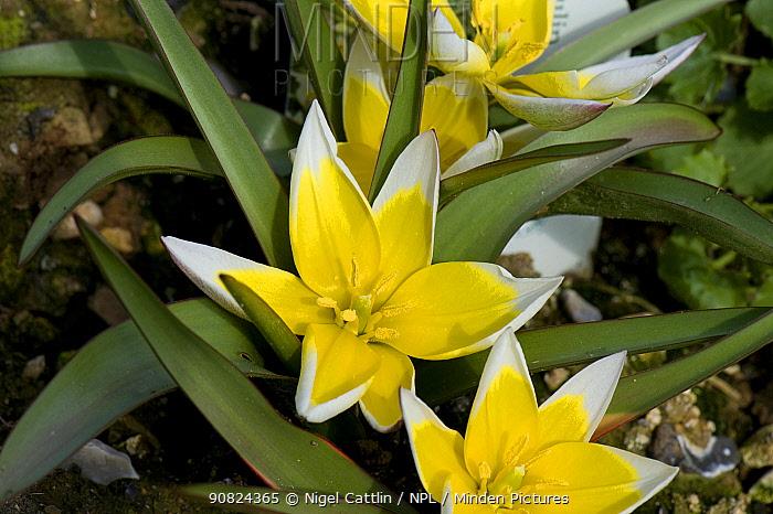 Tarda tulip (Tulipa tarda) flowers cultivated in garden.