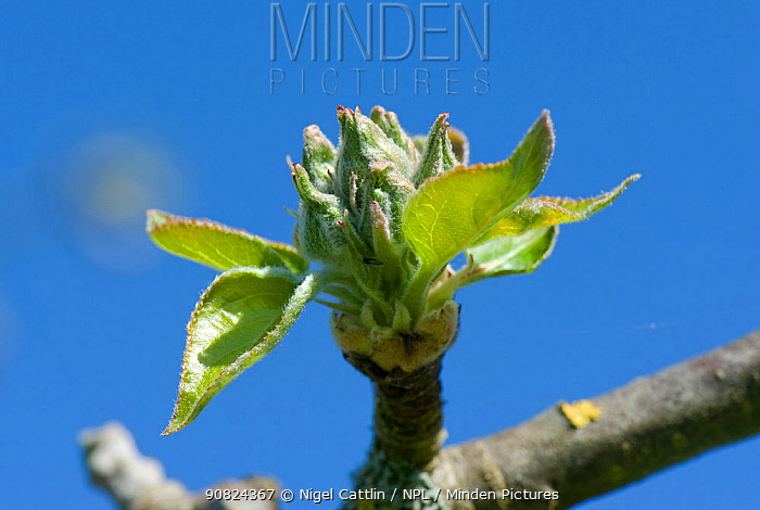 Apple (Malus domestica) bud burst, flower buds opening surrounded by fresh green leaves. Berkshire, England, UK. April.