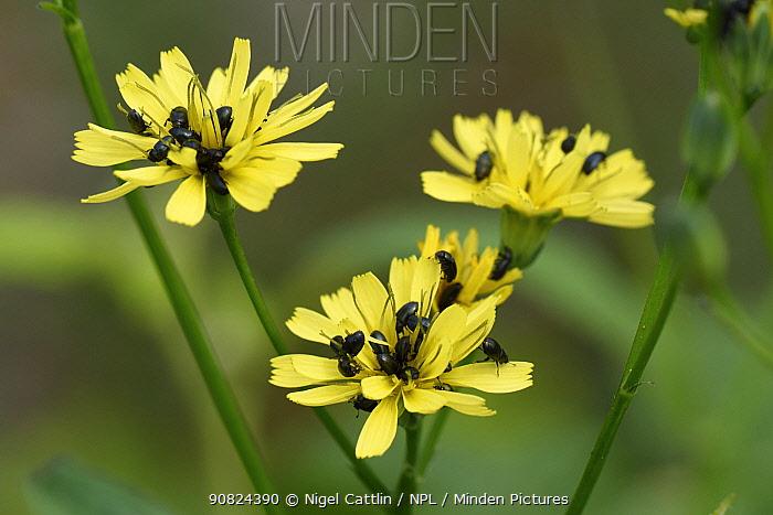 Pollen beetle (Brassicogethes aeneus) infestation on Nipplewort (Lapsana communis). Berkshire, England, UK. July.