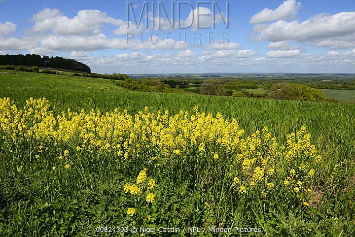 Common wintercress (Barbarea vulgaris) in field margin. Berkshire, England, UK. May.