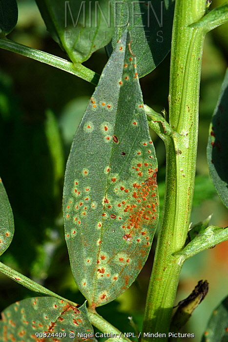Broad bean rust (Uromyces vicia-fabae) on Broad bean (Vicia faba) leaf, notches made by Bean weevil (Chrysomelidae) around edge. Berkshire, England, UK. August.