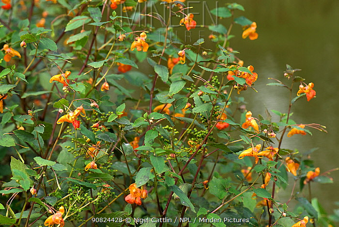 Orange balsam (Impatiens capensis) flowering and seeding at edge of Kennet and Avon Canal, Berkshire, England, UK. August.