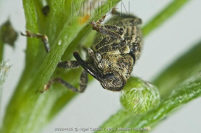 Cabbage stem weevil (Ceutorhynchus sp) on Sweet alyssum (Lobularia maritima). Berkshire, England, UK. August.
