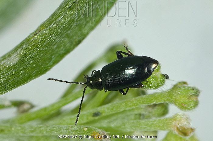 Flea beetle (Phyllotreta nigripes) on Sweet alyssum (Lobularia maritima). Berkshire, England, UK. August.