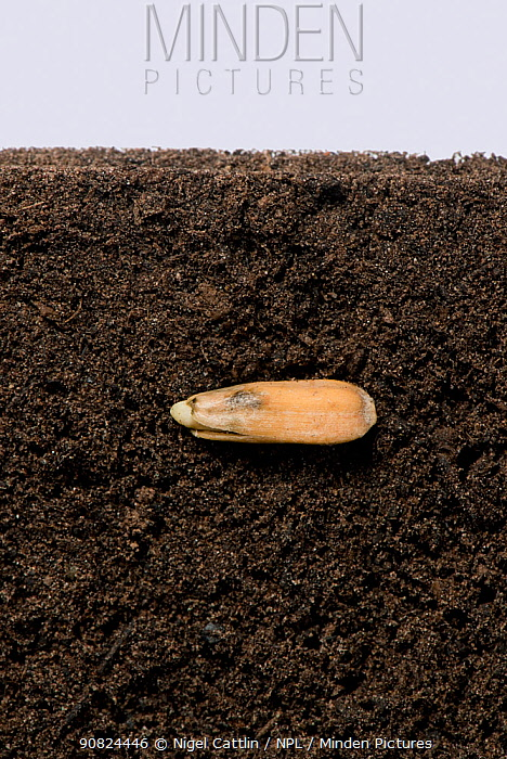 Sunflower (Helianthus annuus) seed in soil, prior to germination and growth, above and below ground. Sequence 1/5.