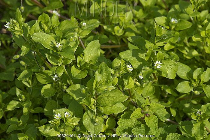 Chickweed (Stellaria media) flowers amongst leaves, an annual arable weed. Berkshire, England, UK. August.