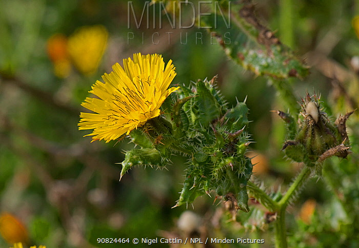 Bristly oxtongue (Helminthotheca echioides). Chesil Beach, Dorset, England, UK. October.