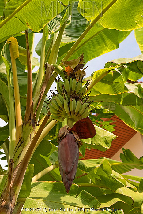 Lady finger / Sugar banana (Musa acuminata) unripe bunch growing amongst leaves. Bangkok, Thailand.