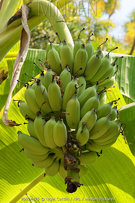 Lady finger / Sugar banana (Musa acuminata) unripe bunch growing on plant. Bangkok, Thailand.