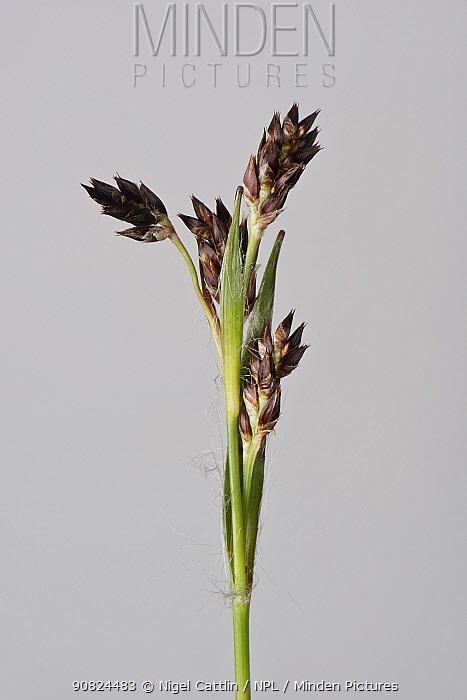 Field woodrush (Luzula campestris) flower spike. Berkshire, England, UK. April.