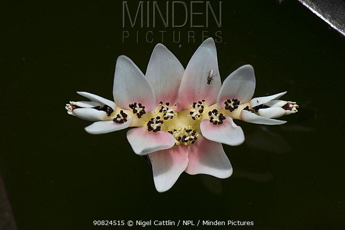 Cape pondweed (Aponogeton distachyos) on garden pond, Fly on petal. Berkshire, England, UK. May.