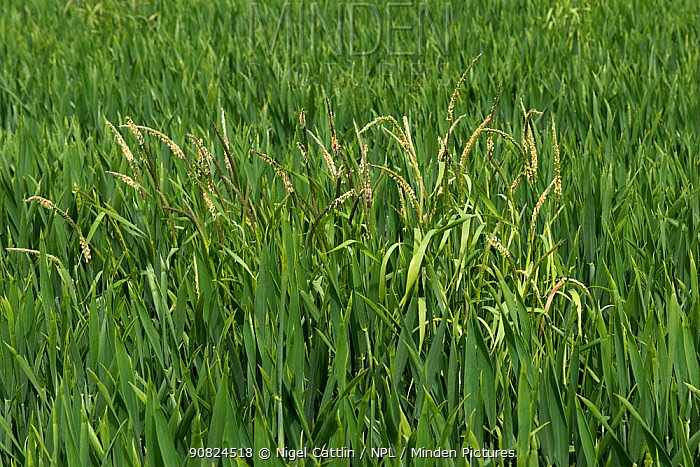 Black grass (Alopecurus myosuroides) growing as agricultural weed amongst Winter wheat (Triticum aestivum) crop. Berkshire, England, UK. May.