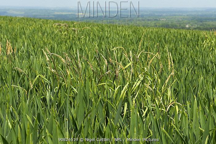 Black grass (Alopecurus myosuroides) growing as agricultural weed amongst Winter wheat (Triticum aestivum) crop. Berkshire, England, UK. May 2016.