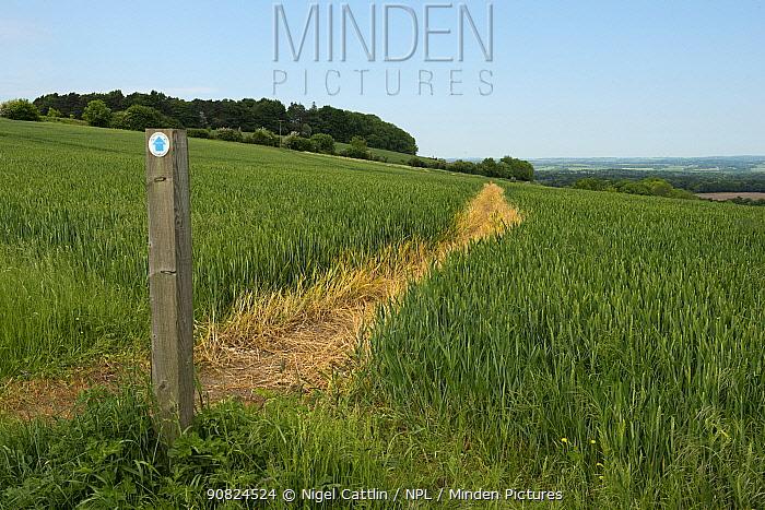 Footpath sign and path through Winter wheat (Triticum aestivum) field. North Wessex Downs, Berkshire, England, UK. June. Sequence 1/2.