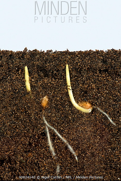Wheat (Triticum aestivum) seeds germinating with development of roots and coleoptile covering of shoots. Image above and below ground.